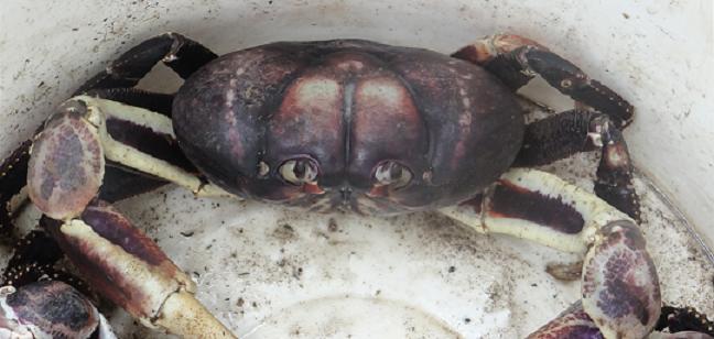 cangrejo-negro